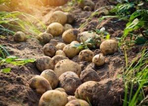 La Classifica dei 12 alimenti più contaminati dai pesticidi dodicesimo posto le Patate