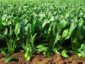 La Classifica dei 12 alimenti più contaminati dai pesticidi ottavo posto gli Spinaci