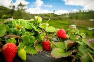 La Classifica dei 12 alimenti più contaminati dai pesticidi quinto posto le Fragole
