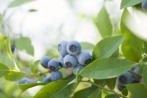 La Classifica dei 12 alimenti più contaminati dai pesticidi undicesimo posto i Mirtilli