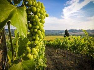 La Classifica dei 12 alimenti più contaminati dai pesticidi settimo posto l'Uva