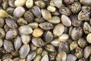 Usi della canapa in cucina semi di canapa