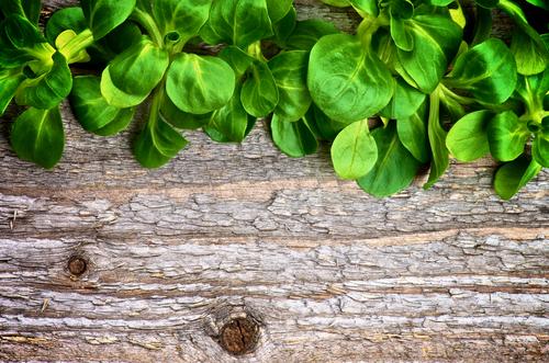 Songino soncino o valerianella insalata di primavera for Songino valeriana